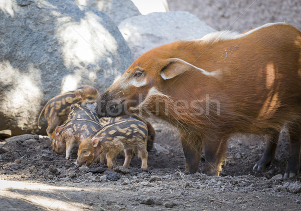 Visayan Warty Piglet with Mother Stock photo © feverpitch