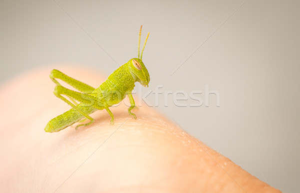 美しい 小 緑 グラスホッパー クローズアップ ストックフォト © feverpitch
