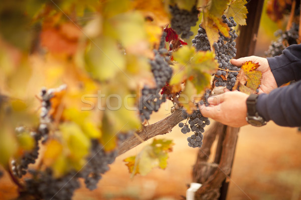 Farmer Inspecting His Ripe Wine Grapes Stock photo © feverpitch