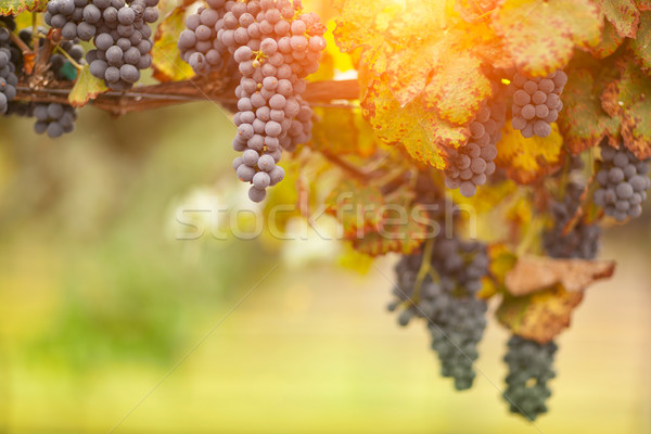Hermosa exuberante de uva vina manana sol Foto stock © feverpitch