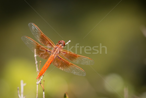 Orange libellule faible branche Photo stock © feverpitch