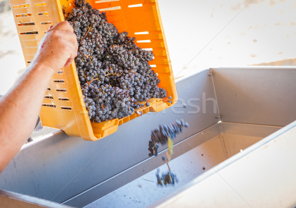 Vintner Dumps Crate of Freshly Picked Grapes Into Processing Mac Stock photo © feverpitch