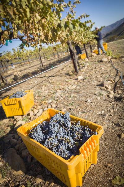 Foto stock: Trabajadores · cosecha · maduro · vino · tinto · uvas · uno