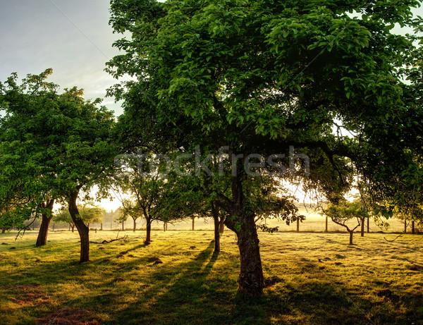 старые деревья закат Сток-фото © filmstroem