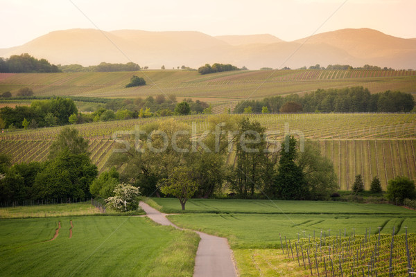 Path in vineyards in Pfalz at sunset, Germany Stock photo © fisfra