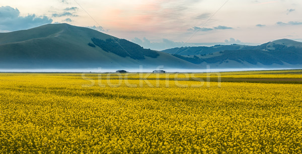 Blooming rapeseed at Piano Grande, Umbria, Italy Stock photo © fisfra