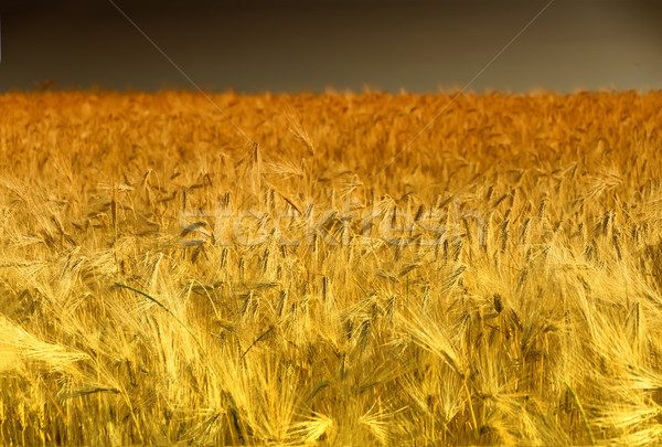 Golden Cornfield (rye) in Pfalz, Germany Stock photo © fisfra
