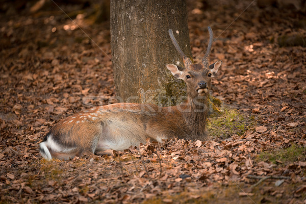Lying Fallow Deer at autumn time, Germany Stock photo © fisfra
