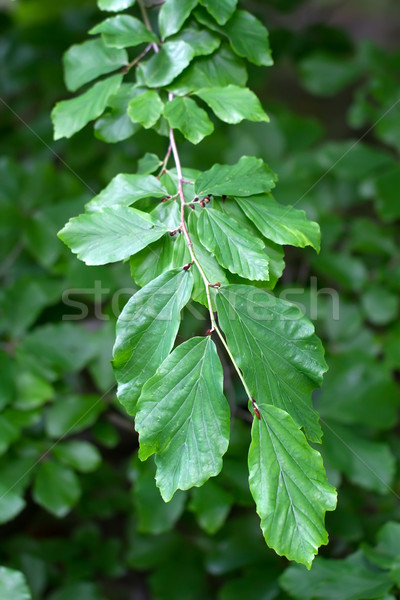 Branch of a Persian Ironwood (lat. Parrotia persica) Stock photo © fisfra