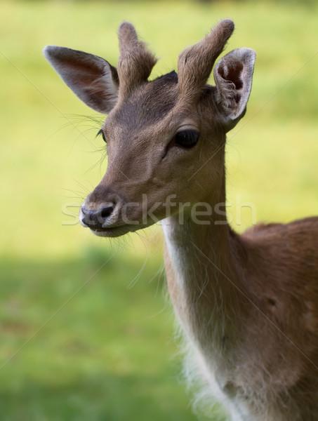 Fallow Deer (lat. Dama dama) Stock photo © fisfra