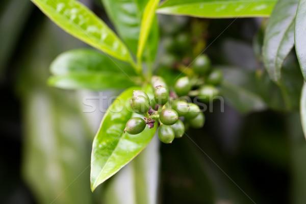 Fruit of a Cherry Laurel (lat. Prunus laurocerasus Schipkaensis Macropylla) Stock photo © fisfra