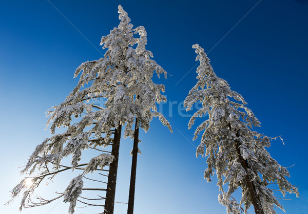 Three snow-capped fir trees in Black Forest, Kaltenbronn, Germany Stock photo © fisfra