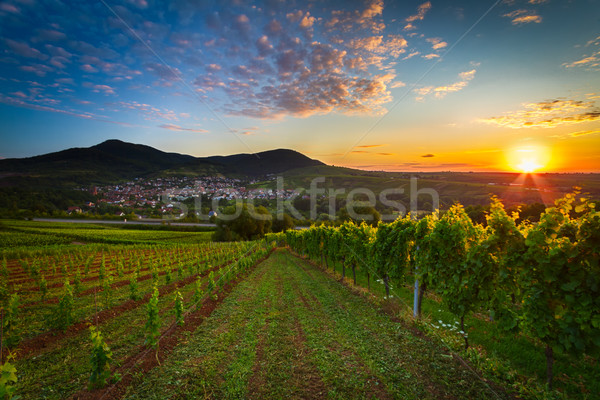 Vineyard with colorful sunrise in Pfalz, Germany Stock photo © fisfra