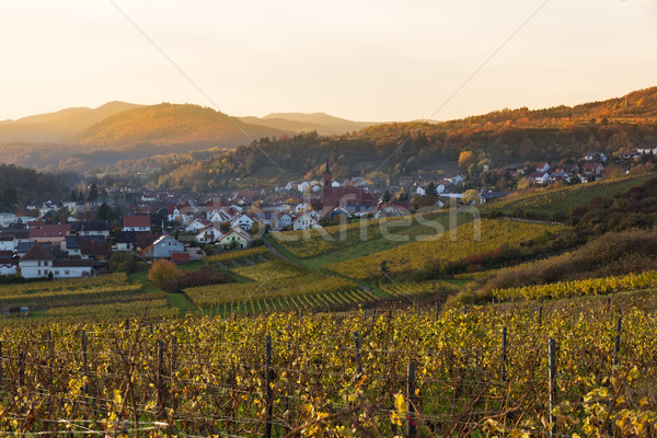 Vineyards in Pfalz at sunset, Germany Stock photo © fisfra