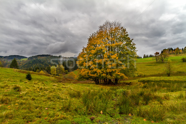 Tree at autumn in Black Forest, Germany Stock photo © fisfra