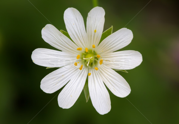 Close up of a Stellaria with green background Stock photo © fisfra