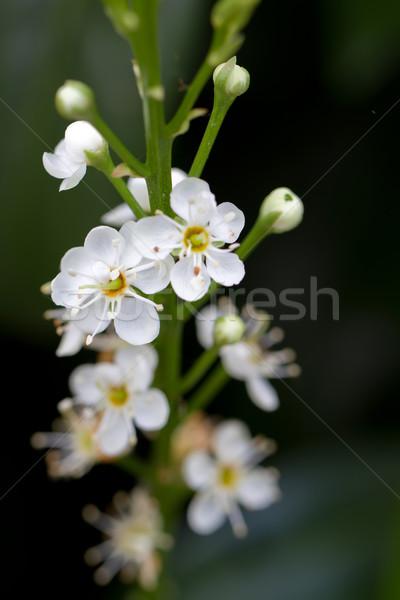 Blooming Cherry Laurel (lat. Prunus laurocerasus Schipkaensis Macropylla) Stock photo © fisfra