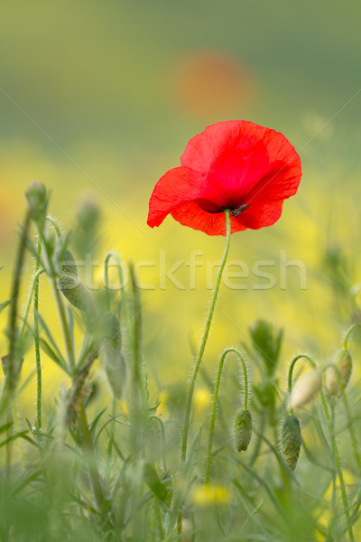Single red poppy with insect Stock photo © fisfra