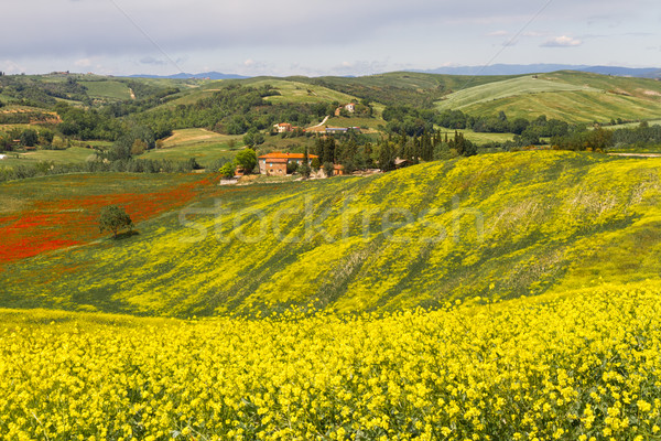Tuscany landscape with blooming rapeseed near Siena, Italy Stock photo © fisfra