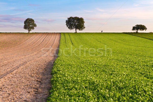 Stock photo: Fields with trees and walker, Pfalz, Germany