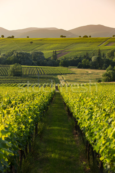 Vineyards in later afternoon light, Pfalz, Germany Stock photo © fisfra