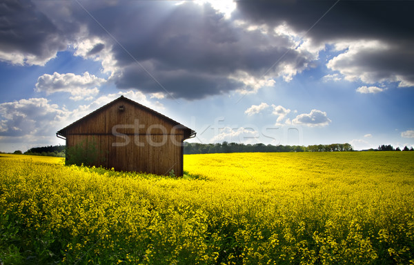 Blooming rapeseed field (lat. Brassica napus) with shed Stock photo © fisfra