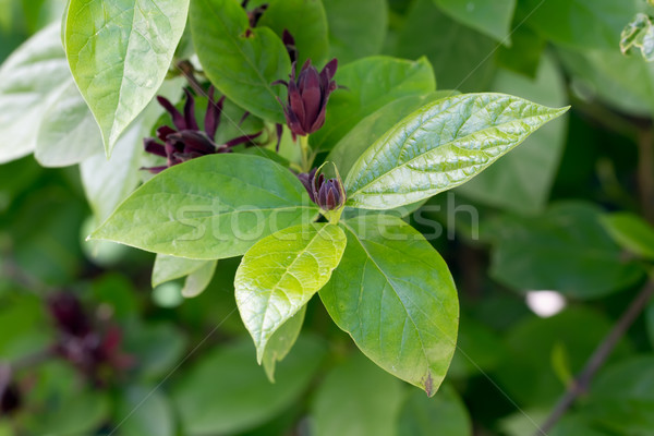 Sweetshrub (Calycanthus floridus) Stock photo © fisfra