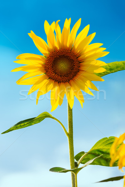 Sunflower (lat. Helianthus) with blue sky, Germany Stock photo © fisfra