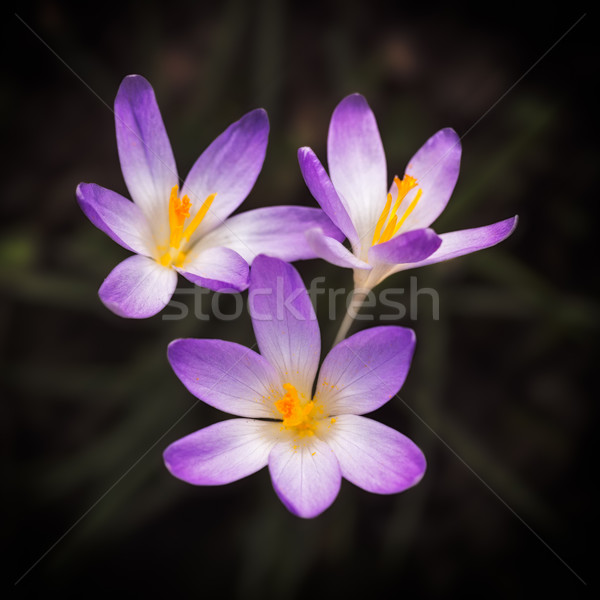 Foto stock: Violeta · açafrão · primavera · flores · jardim