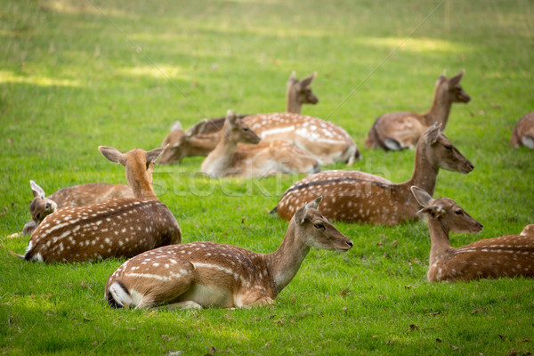 Herd of Fallow Deers (lat. dama dama) on a meadow Stock photo © fisfra