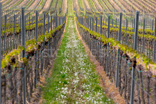 Rows of vine, Pfalz, Germany Stock photo © fisfra