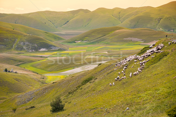 Herd of sheep at Piano Grande, Umbria, Italy Stock photo © fisfra