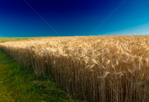 Cornfield (rye) with deep blue sky in Pfalz, Germany Stock photo © fisfra