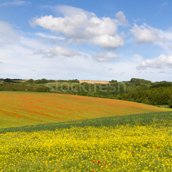 Fields with blooming rapeseed and poppies, Cotswolds, UK Stock photo © fisfra