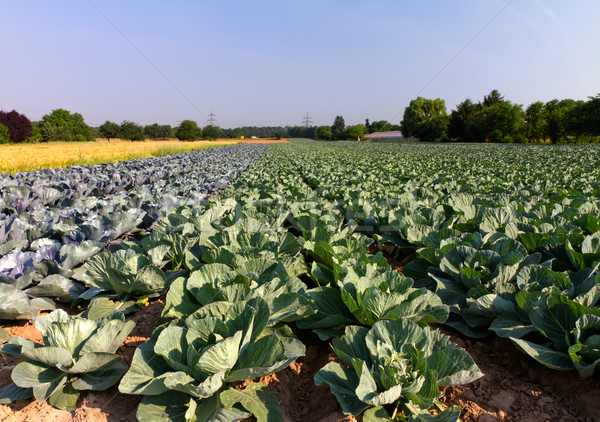 Stock photo: Field with Red and White Cabbage (lat. Brassica oleracea)