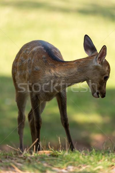 молодые оленей лес природы рот животного Сток-фото © fisfra