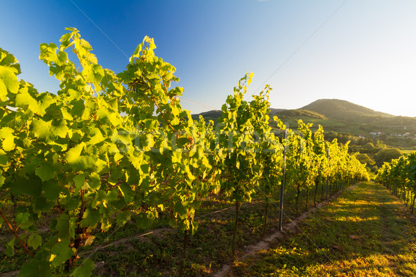 Vineyard in Pfalz with hills and blue skies, Germany Stock photo © fisfra