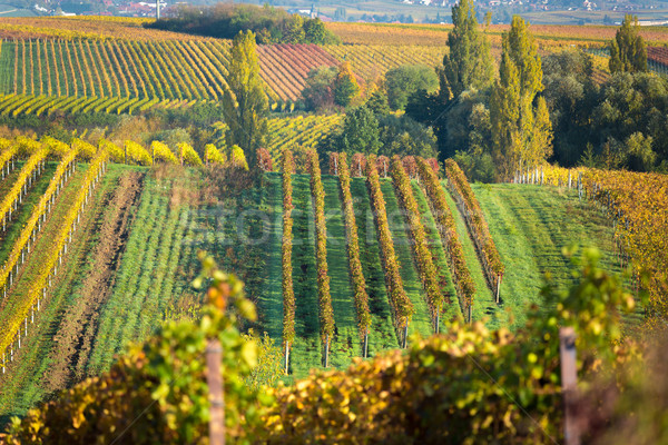 Vineyards at autumn, Pfalz, Germany Stock photo © fisfra
