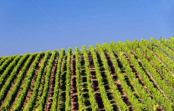 Vineyard in Pfalz, Germany Stock photo © fisfra