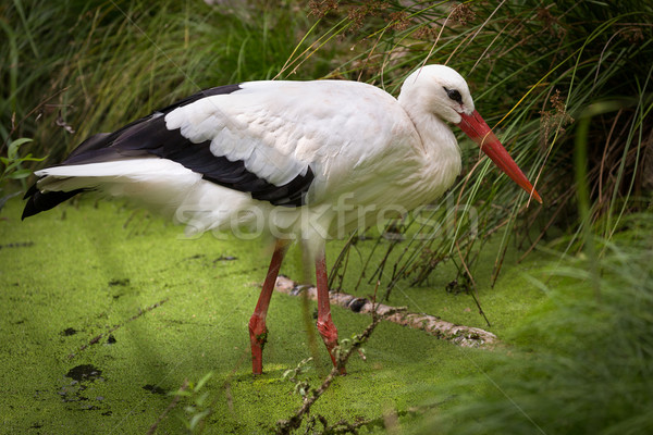 White Stork (lat. Ciconia ciconia) in swamp, Germany Stock photo © fisfra