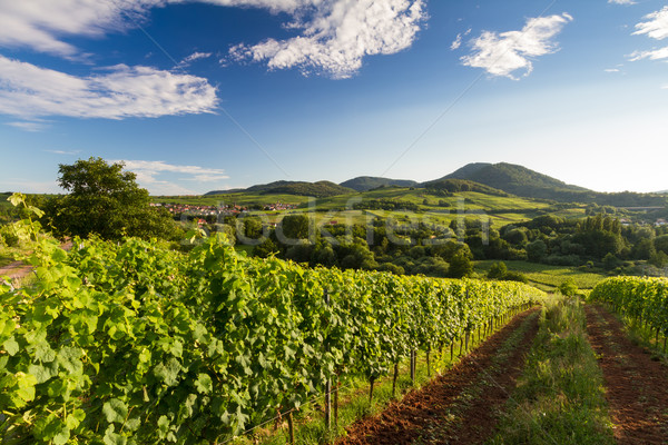 Vineyard and hilly landscape in Pfalz, Germany Stock photo © fisfra