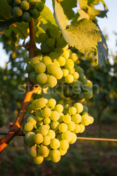 Grapes at vineyard in Pfalz, Germany Stock photo © fisfra