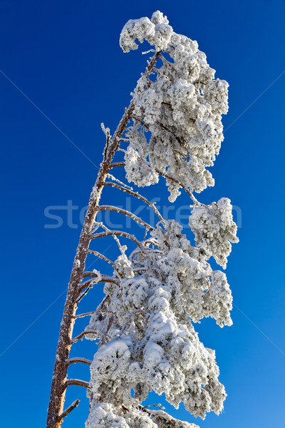 Snow-capped fir tree in Black Forest, Kaltenbronn, Germany Stock photo © fisfra