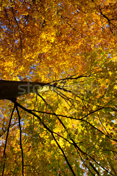 Colorful tree in autumn, Germany Stock photo © fisfra