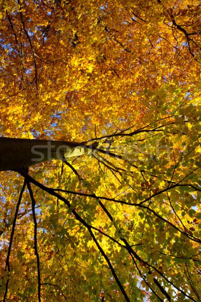 Renkli ağaç sonbahar Almanya ışık yeşil Stok fotoğraf © fisfra