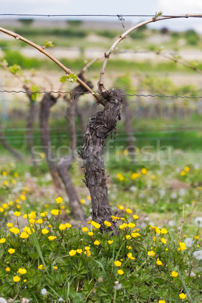 Vine with flower at summertime, Pfalz, Germany Stock photo © fisfra