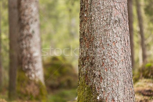 Ugatás fák moha Németország fa erdő Stock fotó © fisfra