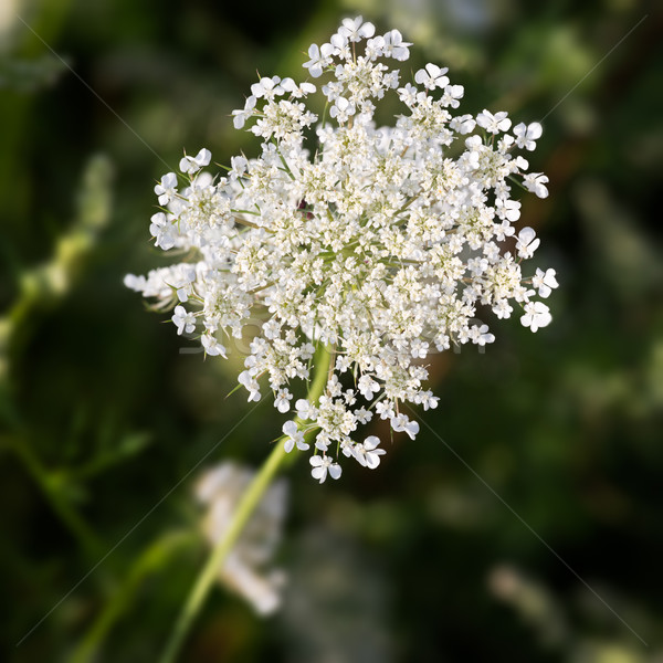 Common Yarrow (lat. Achillea millefolium) with green background Stock photo © fisfra