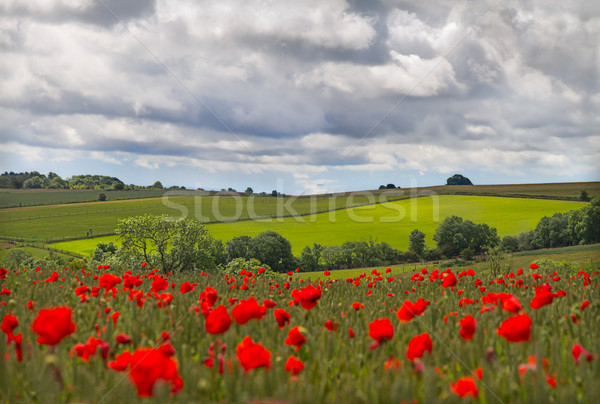 Hills in with field of poppies near Leafield, Cotswolds, UK Stock photo © fisfra