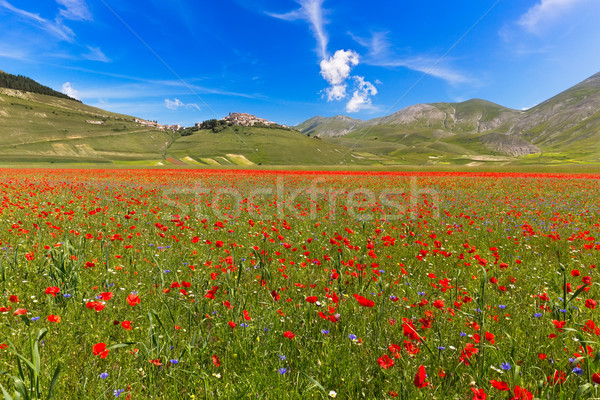 Blooming poppies and lentils at Piano Grande, Castelluccio, Ital Stock photo © fisfra